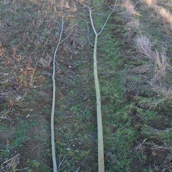 Thin Living Willow Stems